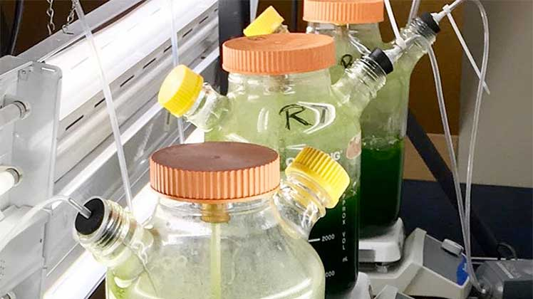 Photo of algae filled containers in a laboratory