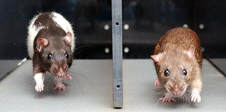 Britton Koch Rats