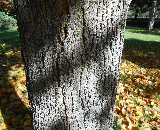 Black Maple Bark