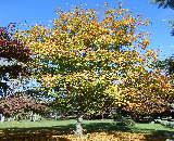 Black Maple Tree