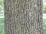 Black Oak Bark