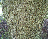 Crimson King Norway Maple Bark