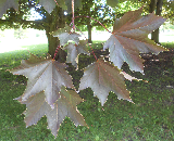 Crimson King Norway Maple