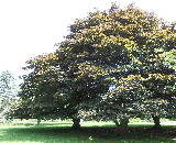 Crimson King Norway Maple Tree