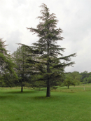 Cedar of Lebanon Tree