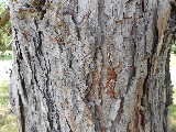 Eastern Larch/Tamarack Bark