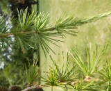 Eastern Larch.l