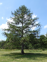 Eastern Larch/Tamarack Tree