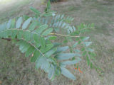 Honey Locust Leaf