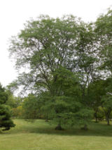 Honey Locust Tree