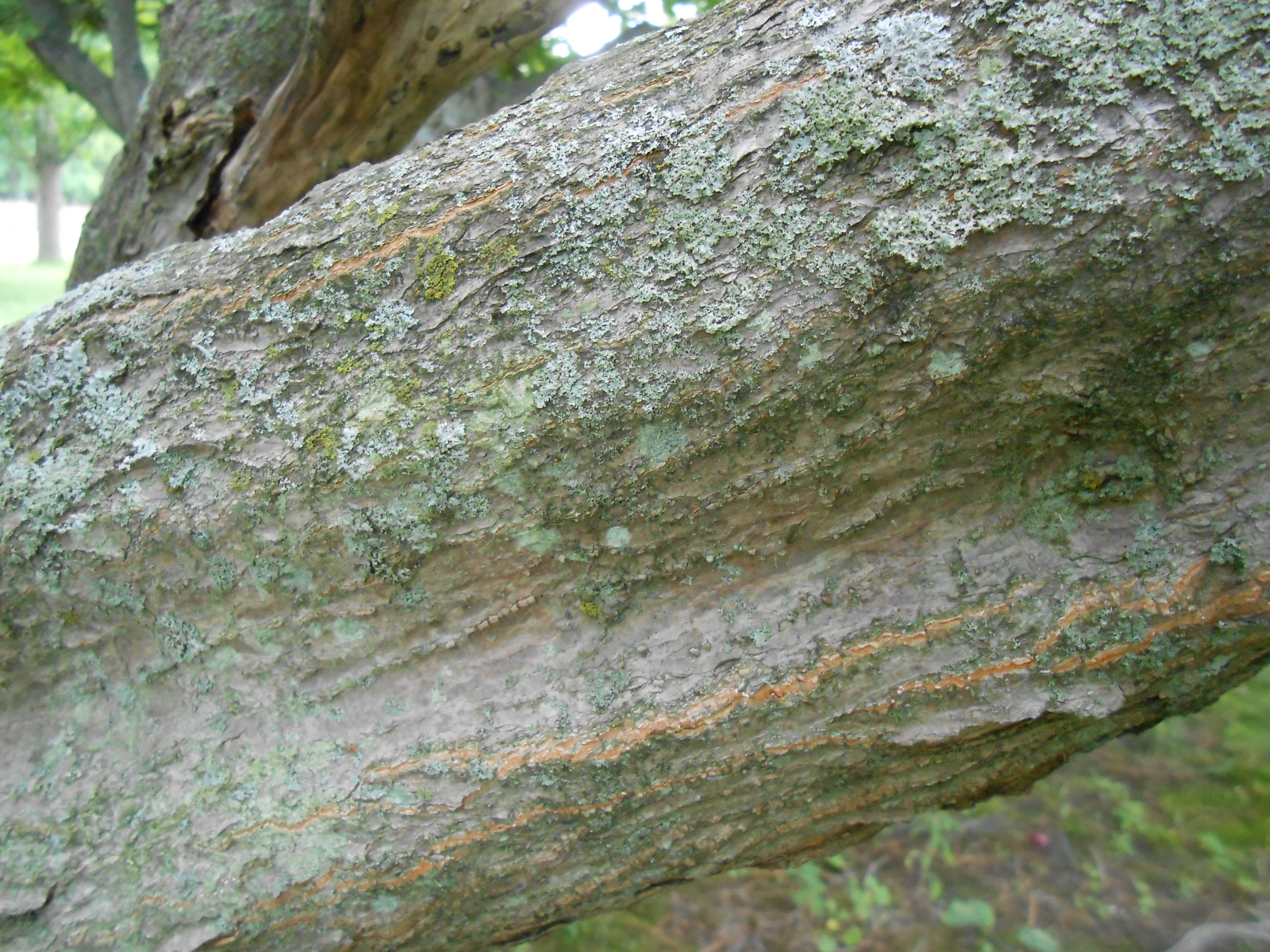 Japanese Maple Bark