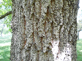 Sawtooth Oak Bark