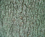 Schlesinger Red Maple Bark