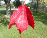 Schlesinger Red Maple Fall Color