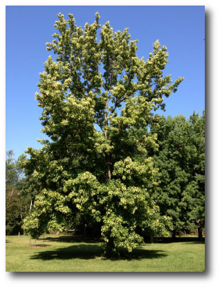 Sweet Gum Tree