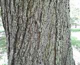 Tilford Red Maple Bark