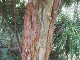 Umbrella Pine Bark