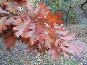 White Oak Fall Color