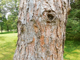 euro larch bark