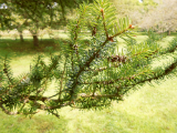 korean fir leaf