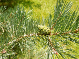 scotch pine bl