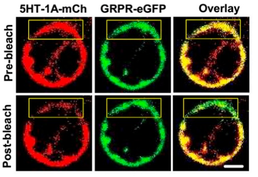 GPCR corss talks and itch sensation