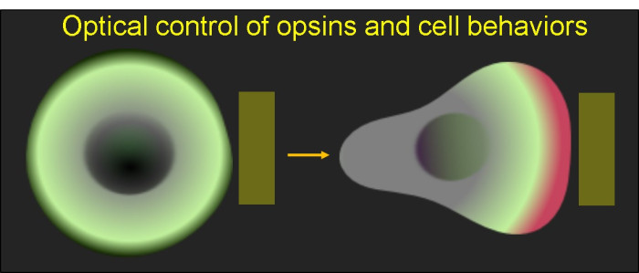 GPCR optogenetics